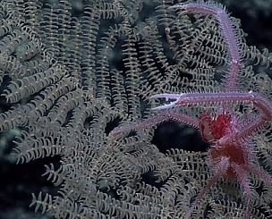 New Black Coral species Umbellapathes litocrada. Credit: Reuters Photo