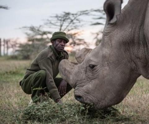 The world's last male northern white Rhino is one of only five of his species left on Earth.Credit: Nichole Sobecki/The Washington Post/Getty