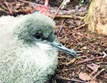 Andre Raine / Kauai Endangered Seabird Recovery Project via The Garden Island