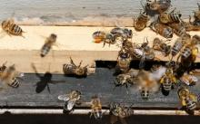 The study also indicates that insects, including bees, are vanishing due to damage to nature. Photograph: Rodrigo Garrido/Reuters