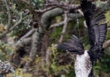 A shag in fishing line, caught in a tree. Photo: Supplied / Edin Whitehead