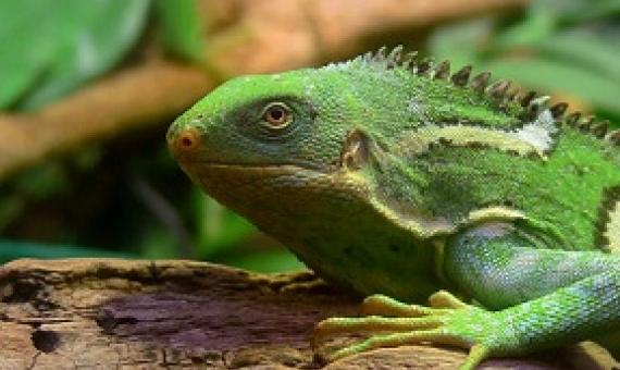 The Fiji crested iguana — which mostly lives on just one island — may soon need to find a new home. (Wikimedia Commons)
