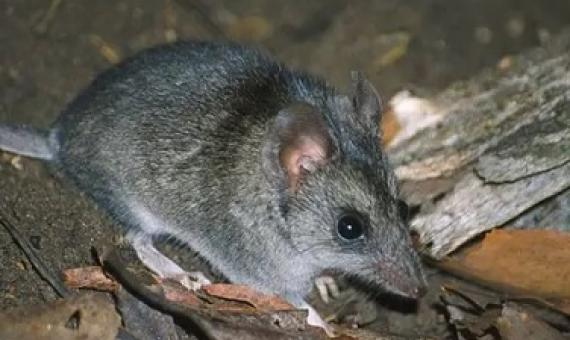 The Kangaroo Island dunnart is among 113 species that need assistance after the bushfires, a government-convened expert panel says. Photograph: Natural Resources Kangaroo Island
