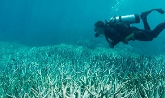At least two-thirds of the Great Barrier Reef has been bleached under the extreme stress of marine heat waves. Image credit: The Ocean Agency/XL Catlin Seaview Survey.