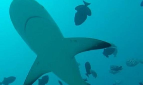 Marine Protected Areas need to be much bigger to support shark conservation.   credit - GLOBAL FINPRINT