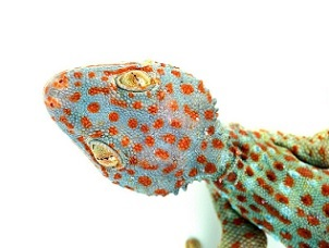 The Tokay gecko is a species native to Southeast Asia, where a large percentage of traded reptiles come from (Auscape/Universal Images Group via Getty Images)